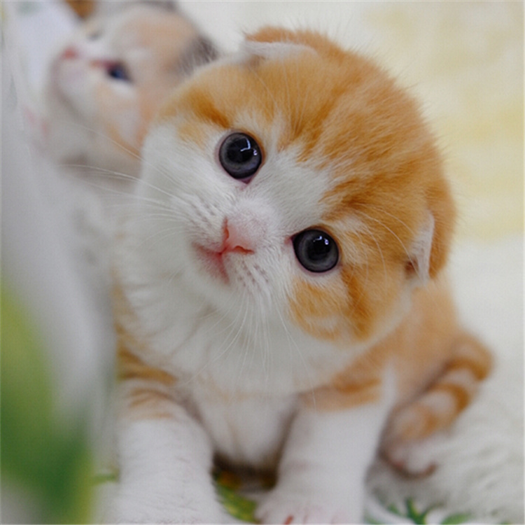 折耳猫 纯种折耳猫多少钱 折耳猫小猫 幼猫 全国发货