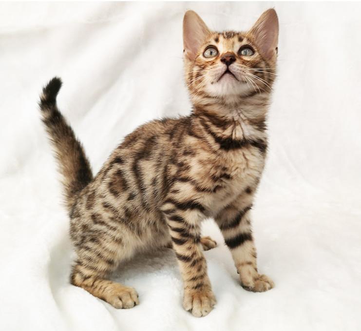 豹猫 纯种孟加拉豹猫多少钱 网红孟加拉豹猫小猫出售4