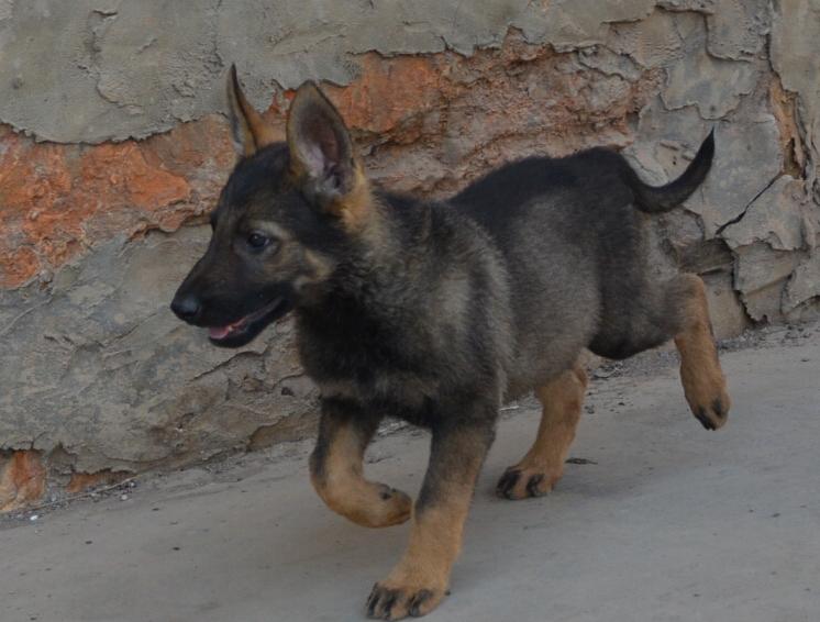 云南楚雄附近那家狗场的昆明犬好狗场常年卖纯种昆明犬