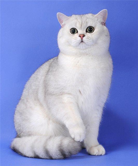 哪里有卖银渐层蓝白多少钱一只 正规猫舍保健康