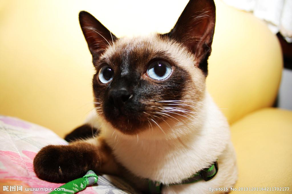 本地猫舍 纯种暹罗猫 可爱的小煤炭工