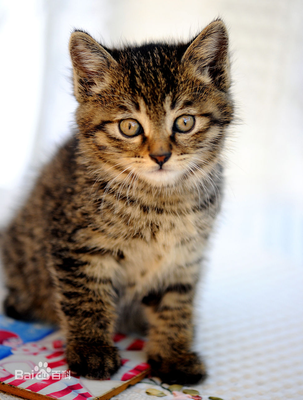 本地狸花猫小猫多少钱 哪里有纯种橘猫卖