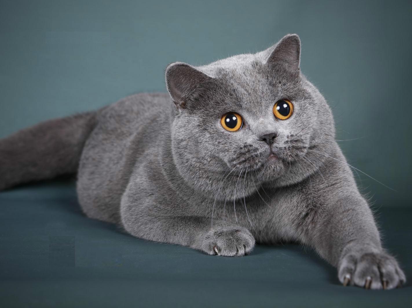 本地哪里有蓝猫卖 蓝猫成年多少斤 图片价格 新手建议