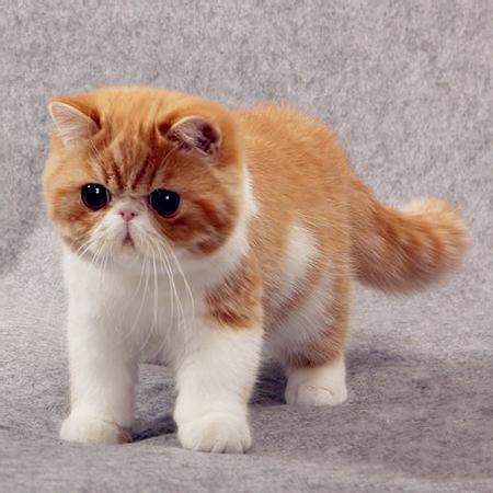 加菲猫哪里有卖 加菲猫多少钱 加菲猫有什么颜色