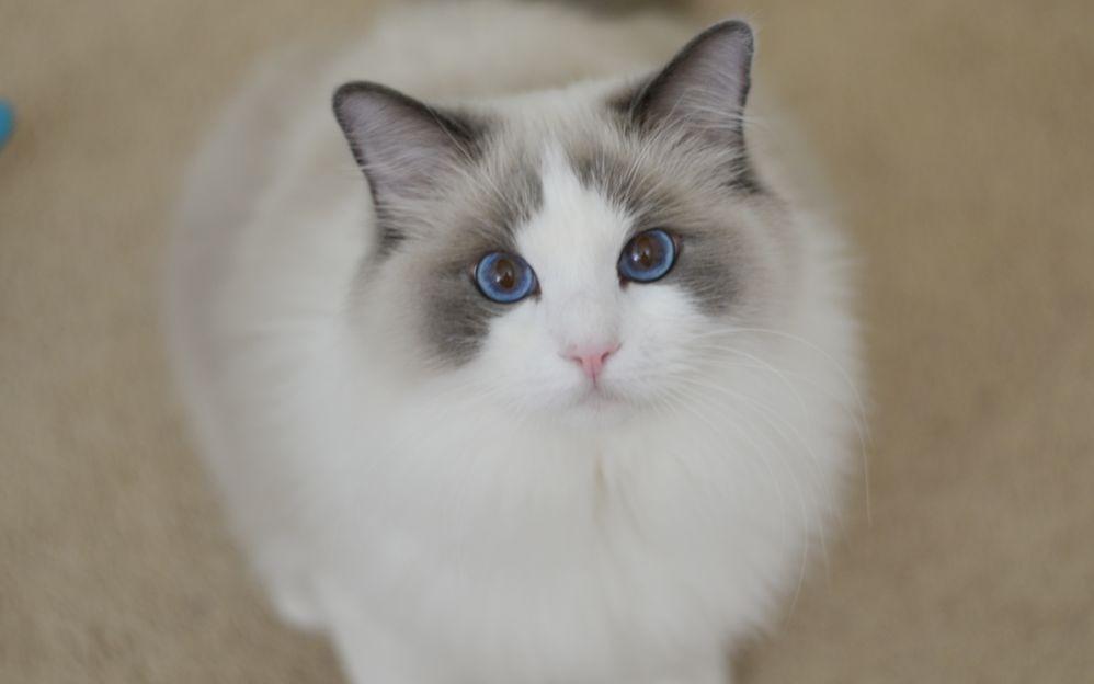 cfa布偶猫仙女猫高贵品质可上门挑选猫咪签协议包健康