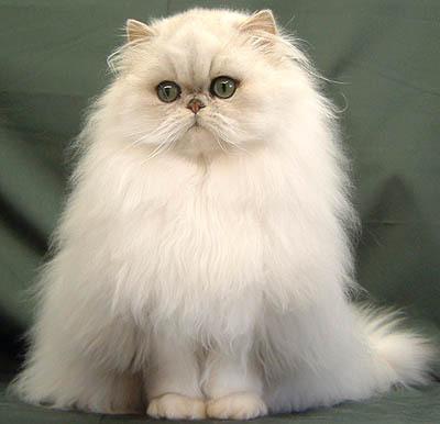金吉拉猫多少钱 纯种的哪里有卖 金吉拉猫图片