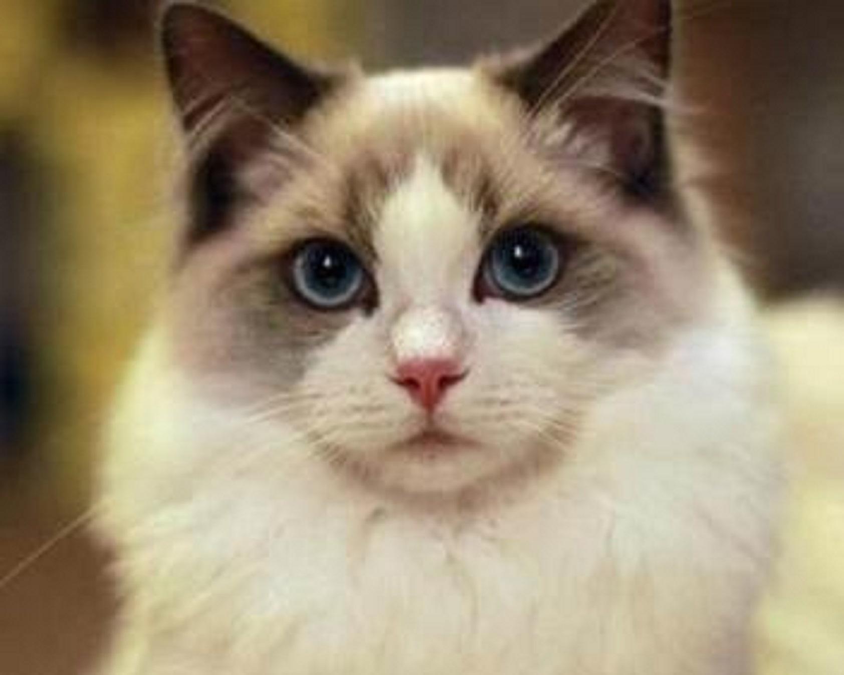 正规猫舍繁育直销纯种健康布偶猫,布偶猫幼猫,布偶猫活体图片