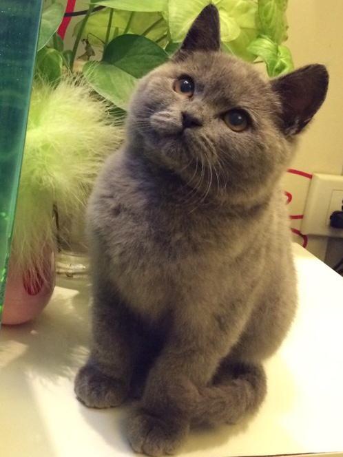 正规猫舍繁育直销纯种健康蓝猫,纯种蓝猫幼猫,蓝猫活体图片