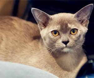 正规猫舍繁育直销纯种健康缅甸猫,缅甸猫幼猫,缅甸猫活体图片