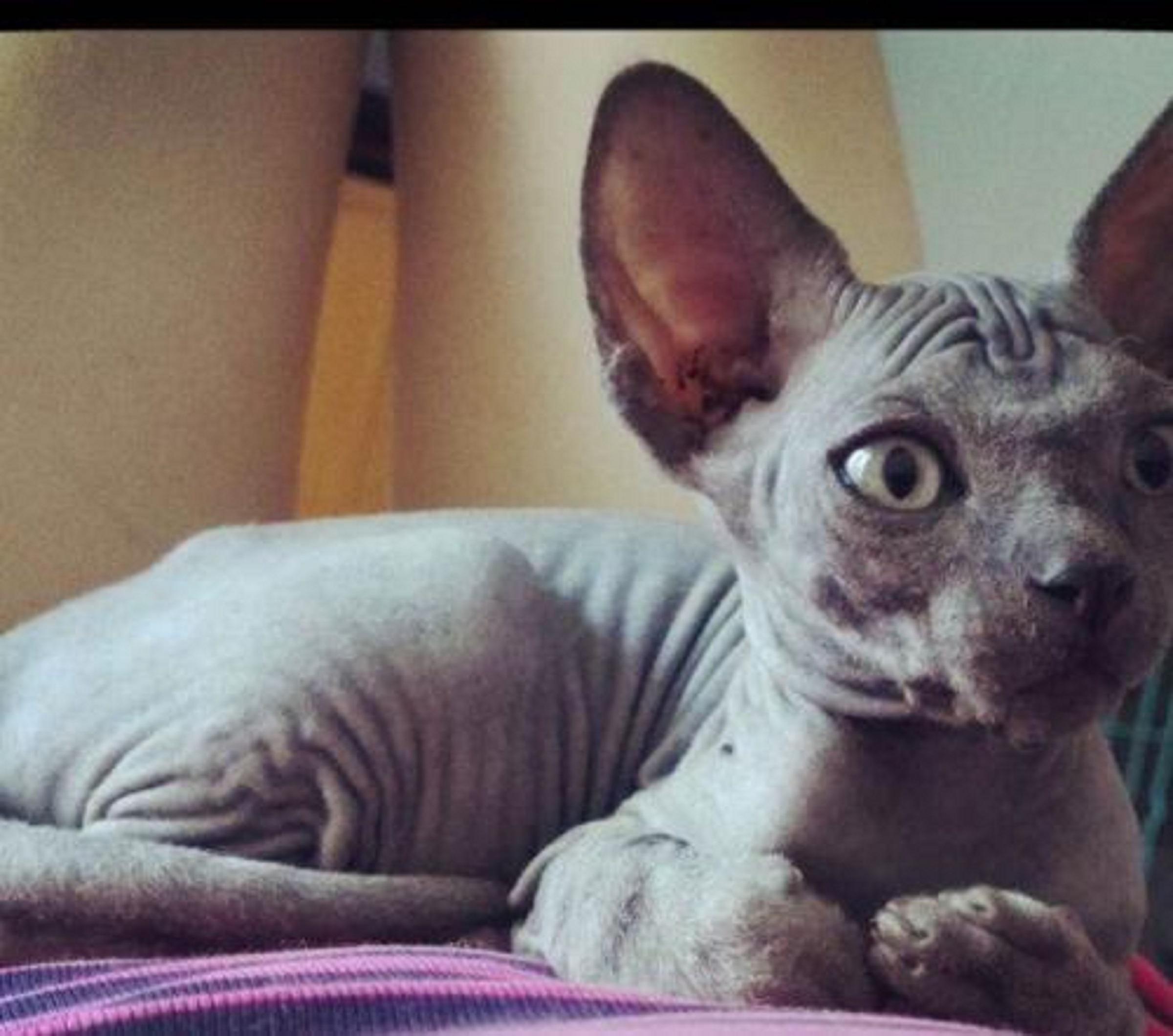 正规猫舍繁育直销纯种健康无毛猫,无毛猫幼猫,无毛猫活体图片