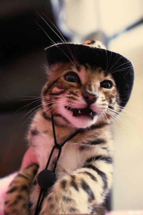 正规猫舍繁育直销纯种健康豹猫,纯种豹猫幼猫,豹猫活体图片2