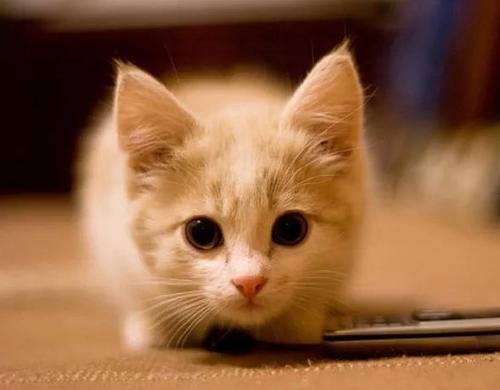正规猫舍出售精品中华田园猫幼崽 品质保障 包纯种包健康