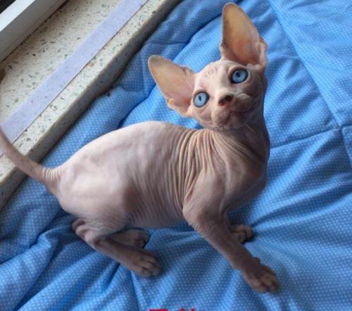 正规猫舍出售精品无毛猫幼崽 品质保障 包纯种包健康