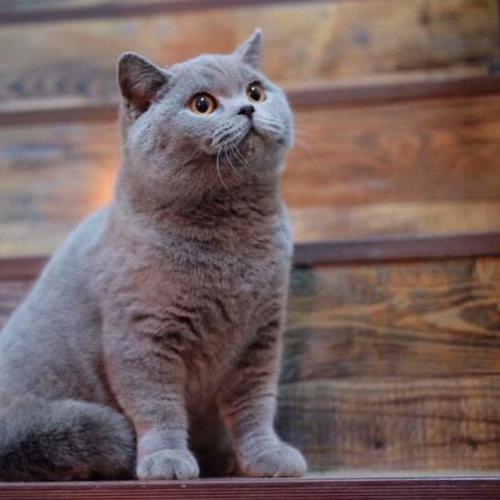 正规猫舍出售精品蓝猫幼崽 品质保障 包纯种包健康