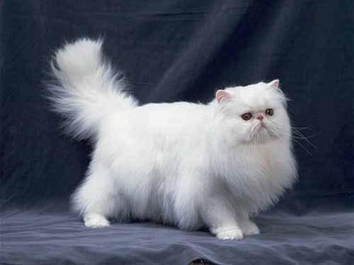 正规猫舍出售精品波斯猫幼崽 品质保障 包纯种包健康