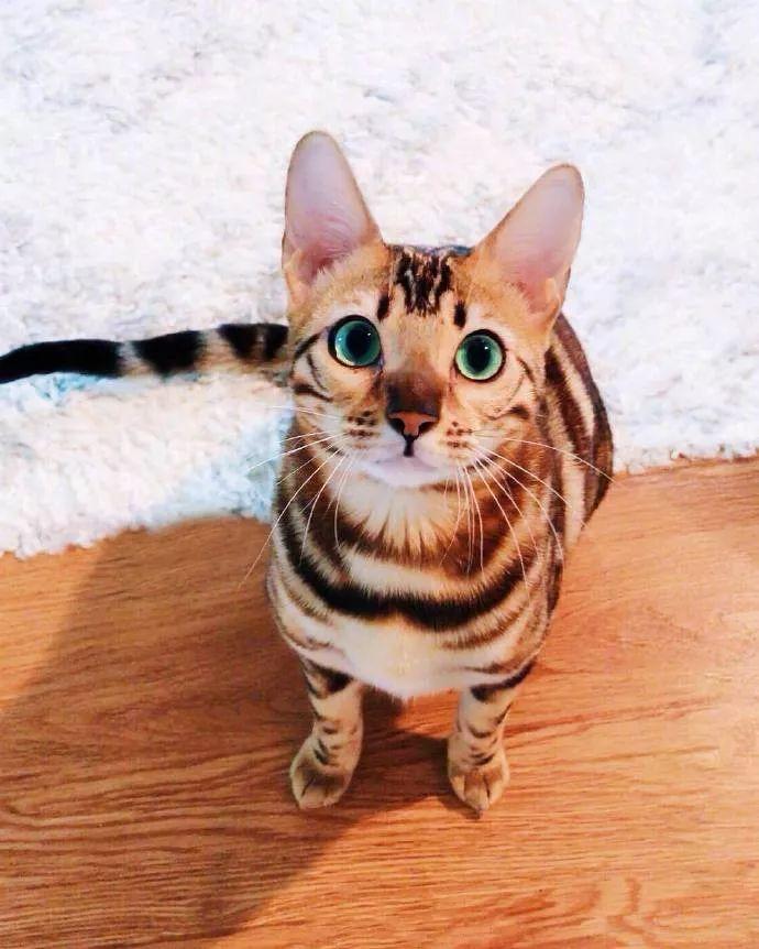 正规猫舍出售精品豹猫幼崽 品质保障 包纯种包健康