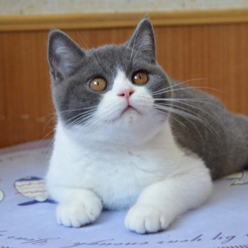正规猫舍出售精品英短猫幼崽 品质保障 包纯种包健康