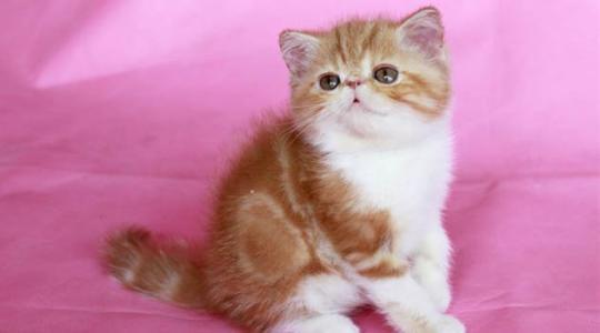 东莞哪里有卖加菲猫,来这家猫舍买过都说好