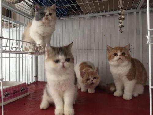 广州有加菲猫卖吗?在哪里有正规猫舍卖纯种加菲猫