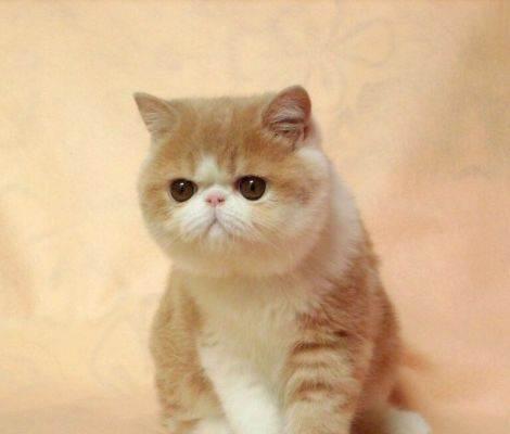 哪里买加菲猫比较好?纯种猫舍东莞哪里有卖加菲猫