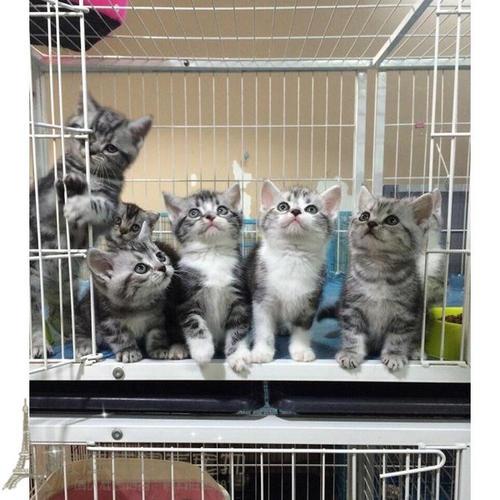 高性价比健康宠物猫去哪买,深圳哪里有卖美短猫