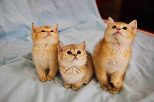 金渐层幼崽多少钱,哪里买猫好广州哪里有卖金渐层猫