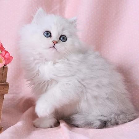 血统纯正金吉拉猫怎么卖的。佛山哪里有卖金吉拉猫