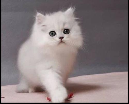 为您找到超心仪的猫,珠海哪里有卖金吉拉猫