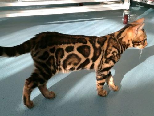 广州哪里有卖豹猫猫的价格多少,广州卖猫