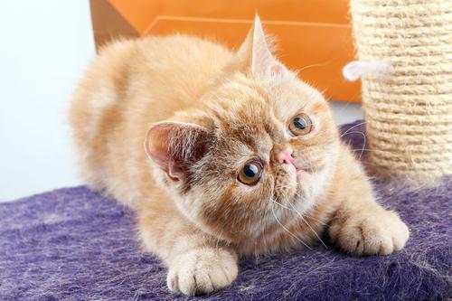 佛山哪里有加菲猫买?比较好的猫舍就来这里