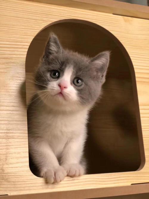 深圳正八脸的蓝白深圳蓝白幼猫多少钱,哪里买靠谱