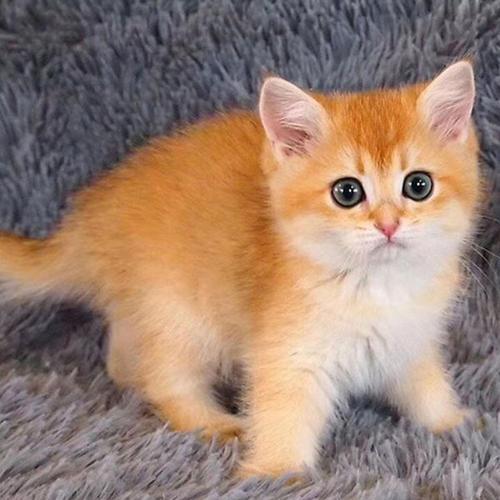 佛山哪里有卖金渐层猫,现在市场价多少正规猫舍在哪里