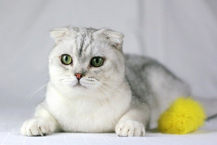 漂亮白色银剑层折耳猫咪,超级可爱深圳哪里有卖折耳猫