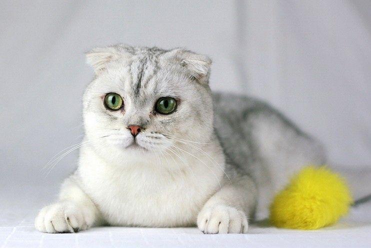 纯种折耳猫多少钱东莞哪里有卖折耳猫咪哪买好