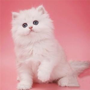 金吉拉猫品相怎么看?挑选金吉拉广州哪里有卖金吉拉猫