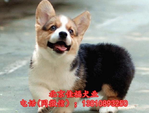 北京哪里卖纯种柯基犬 威尔士柯基犬 包健康包血统 签协议11