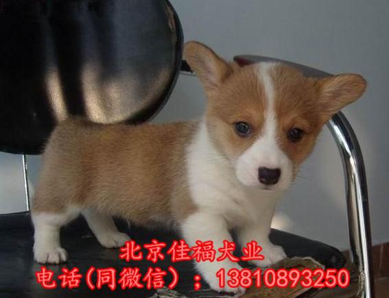 北京哪里卖纯种柯基犬 威尔士柯基犬 包健康包血统 签协议6