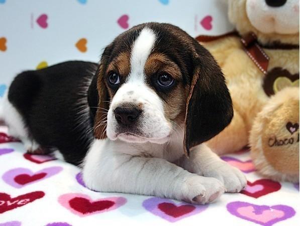 纯种比格犬价格 米格鲁猎兔犬 精品比格犬 疫苗齐全 可送货9