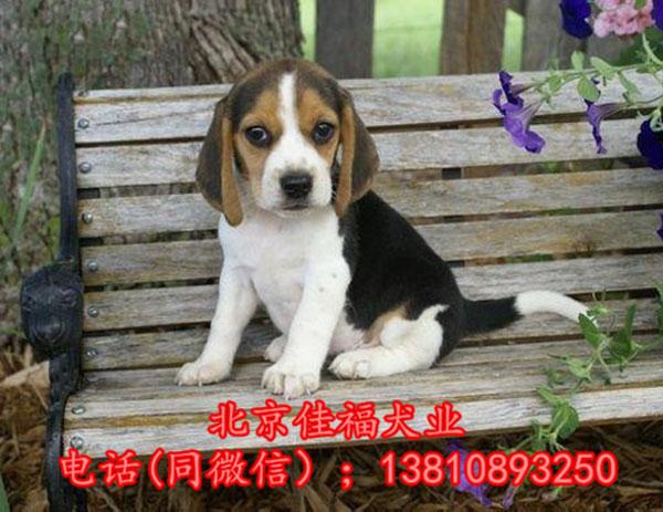 纯种比格犬价格 米格鲁猎兔犬 精品比格犬 疫苗齐全 可送货3