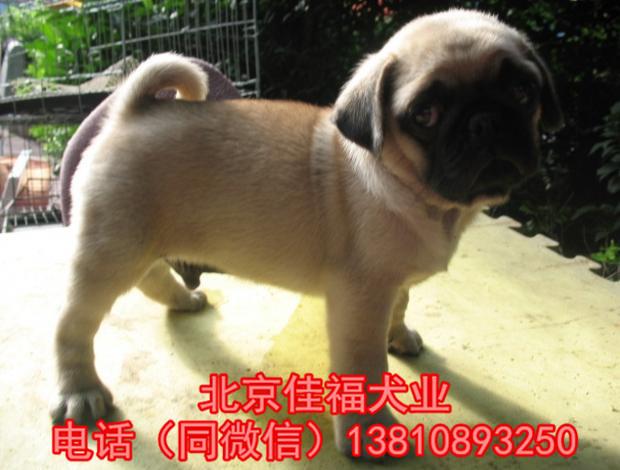 纯种巴哥犬价格 鹰版巴哥 精品巴哥犬 签订协议 可送货9