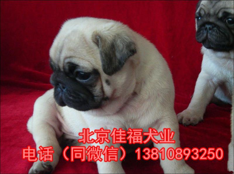 纯种巴哥犬价格 鹰版巴哥 精品巴哥犬 签订协议 可送货4