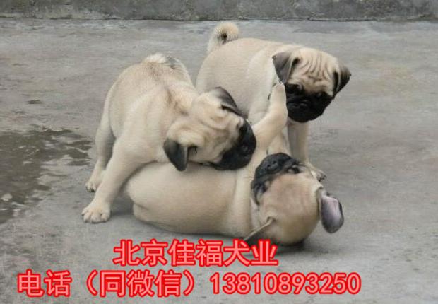 纯种巴哥犬价格 鹰版巴哥 精品巴哥犬 签订协议 可送货8
