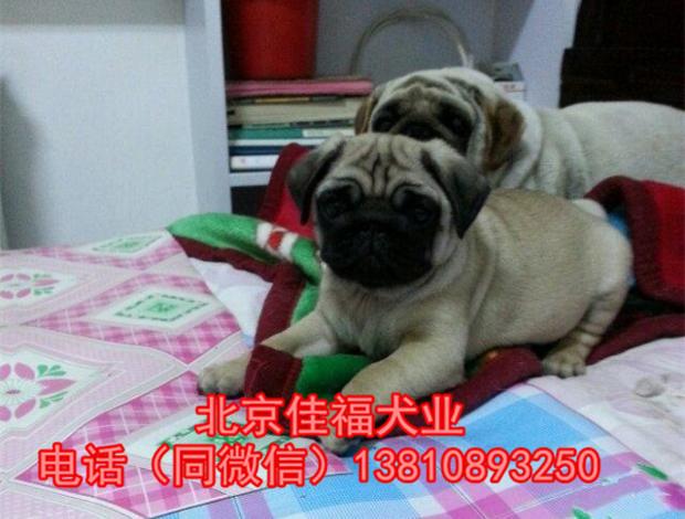 纯种巴哥犬价格 鹰版巴哥 精品巴哥犬 签订协议 可送货5