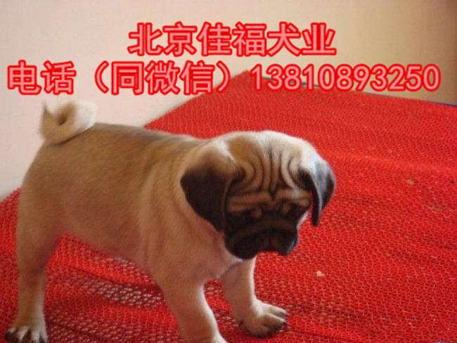 纯种巴哥犬价格 鹰版巴哥 精品巴哥犬 签订协议 可送货12