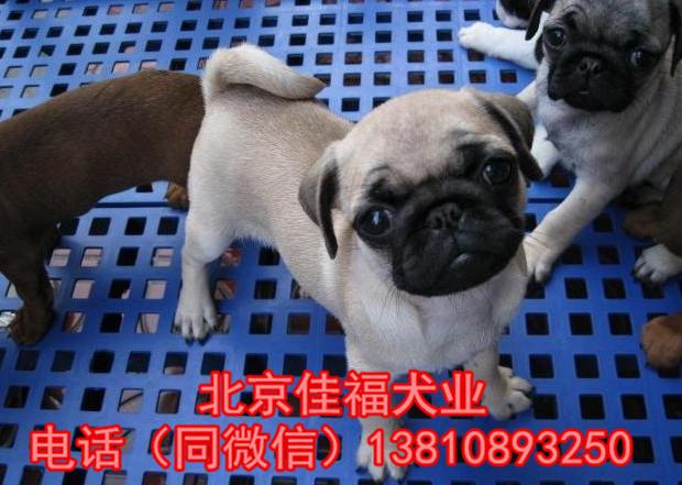 纯种巴哥犬价格 鹰版巴哥 精品巴哥犬 签订协议 可送货11