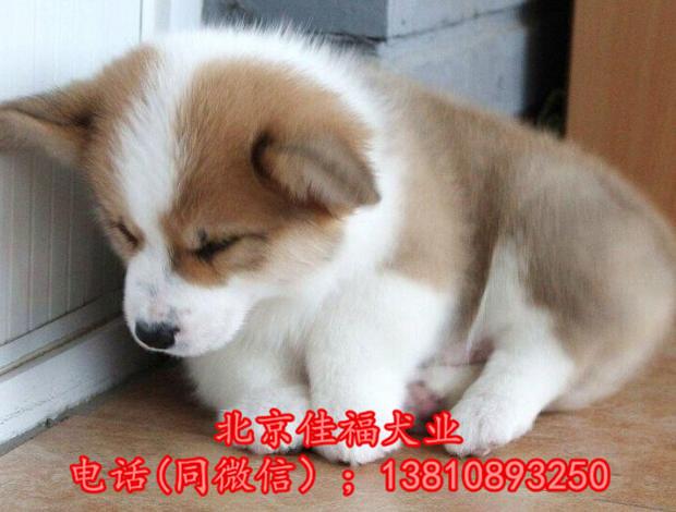北京哪里卖纯种柯基犬 威尔士柯基犬 包健康包血统 签协议13