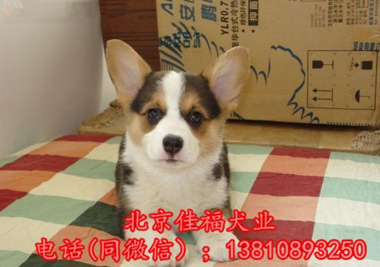 北京哪里卖纯种柯基犬 威尔士柯基犬 包健康包血统 签协议2