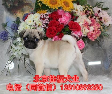 纯种巴哥犬价格 鹰版巴哥 精品巴哥犬 签订协议 可送货13
