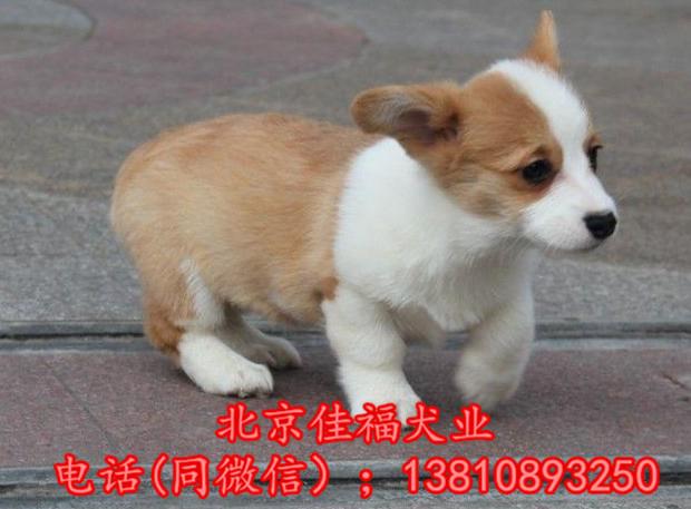 北京哪里卖纯种柯基犬 威尔士柯基犬 包健康包血统 签协议4