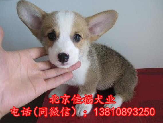 北京哪里卖纯种柯基犬 威尔士柯基犬 包健康包血统 签协议10